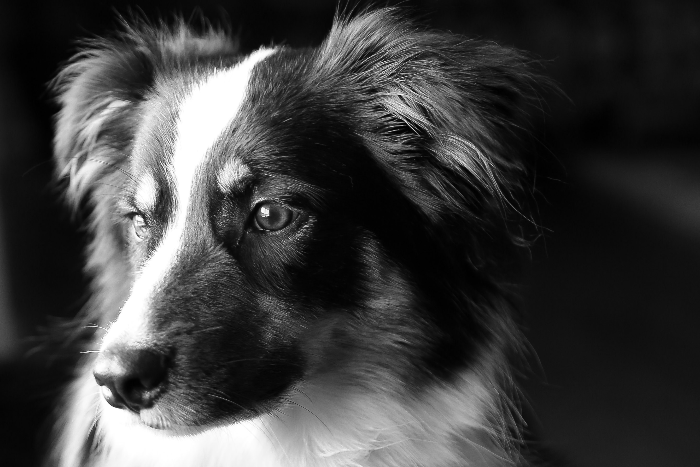 Famous Black And White Dogs